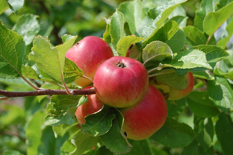 The Good Story of South African Apples