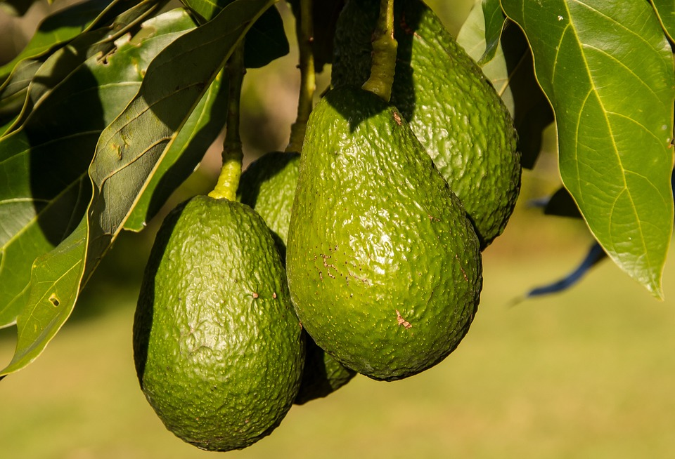 Brief History of Avocado Production in South Africa