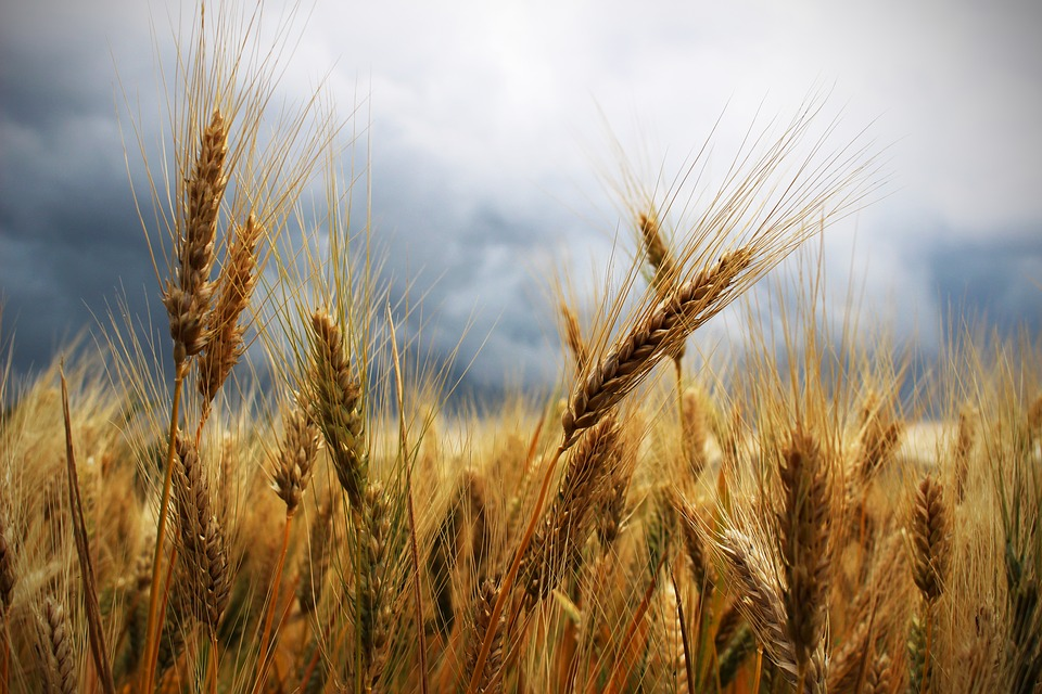 Delays in South Africa's Wheat Tariff Publication Not Helpful
