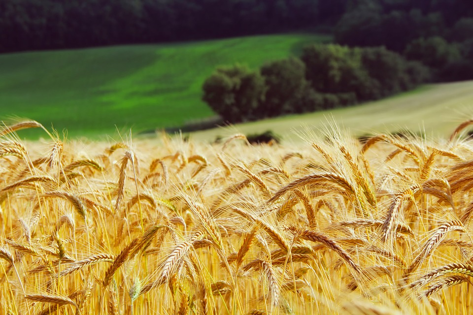 Russia Could Cap Wheat Exports