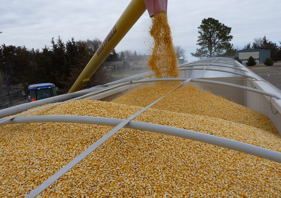 Loading maize after the harvest process