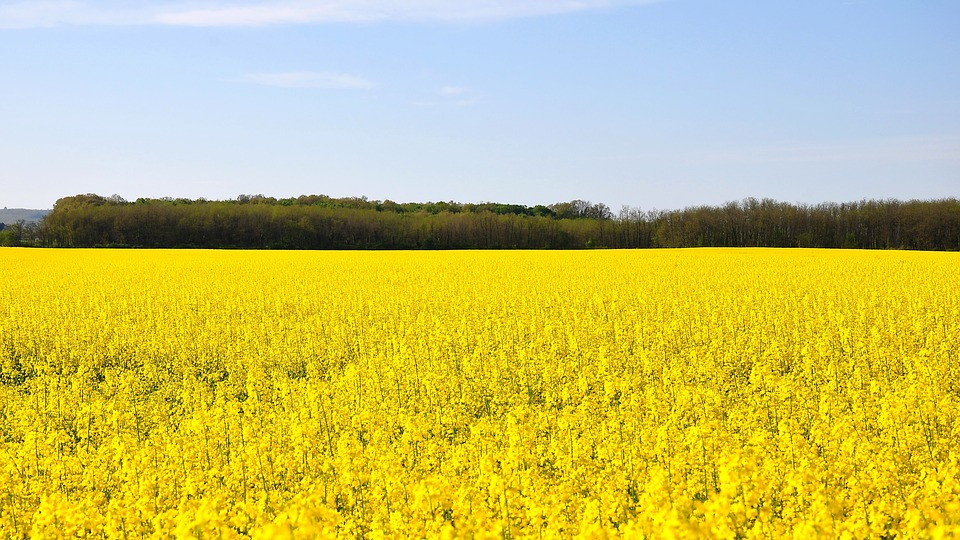 The Western Cape is Key to Africa's Canola Production