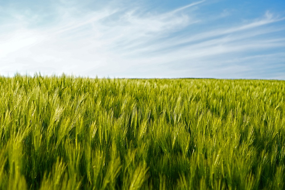 Good Rainfall, Good Improvement in South Africa's Wheat Production
