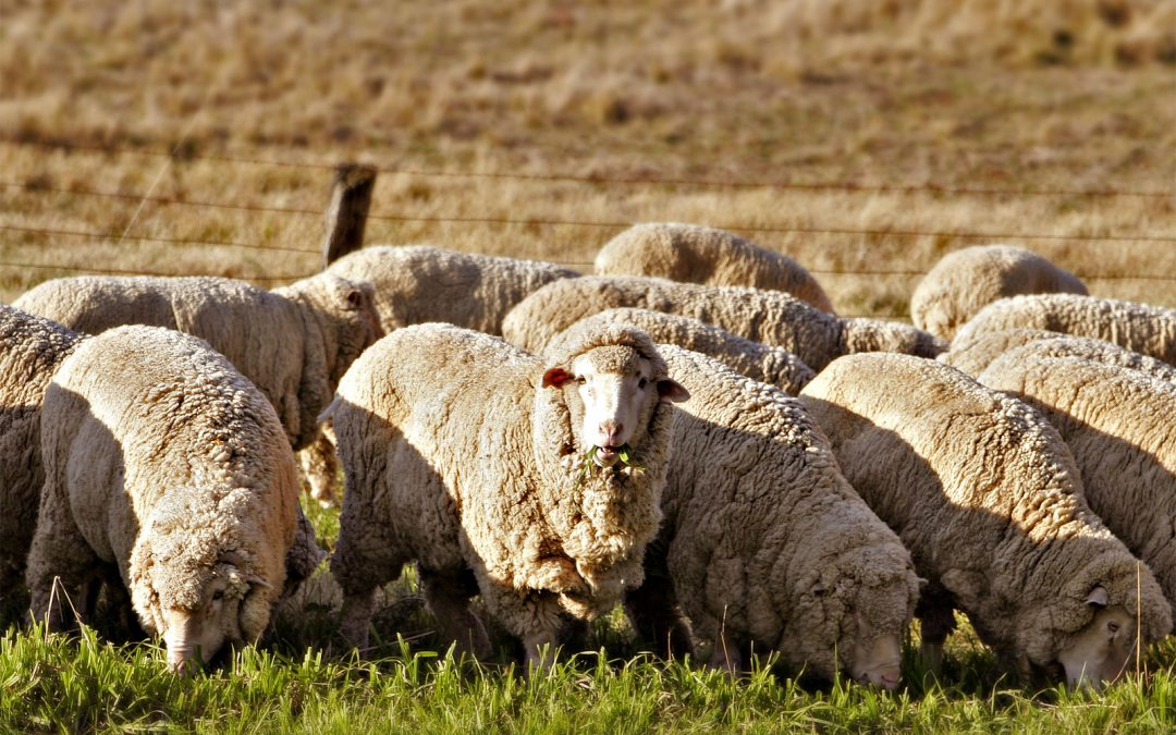 South Africa's wool industry took a knock from a ban of exports by China in 2019