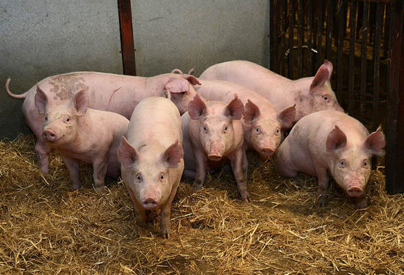 Latest African swine fever outbreak in Mpumalanga poses no threat