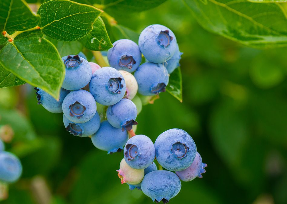 Blueberries and Jobs in South Africa