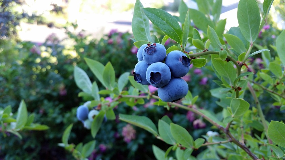 Budding blueberry sector offers fruitful job prospects for South Africa