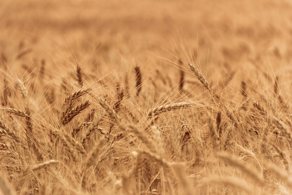 Western Cape wheat farmers look to skies as rain dries up