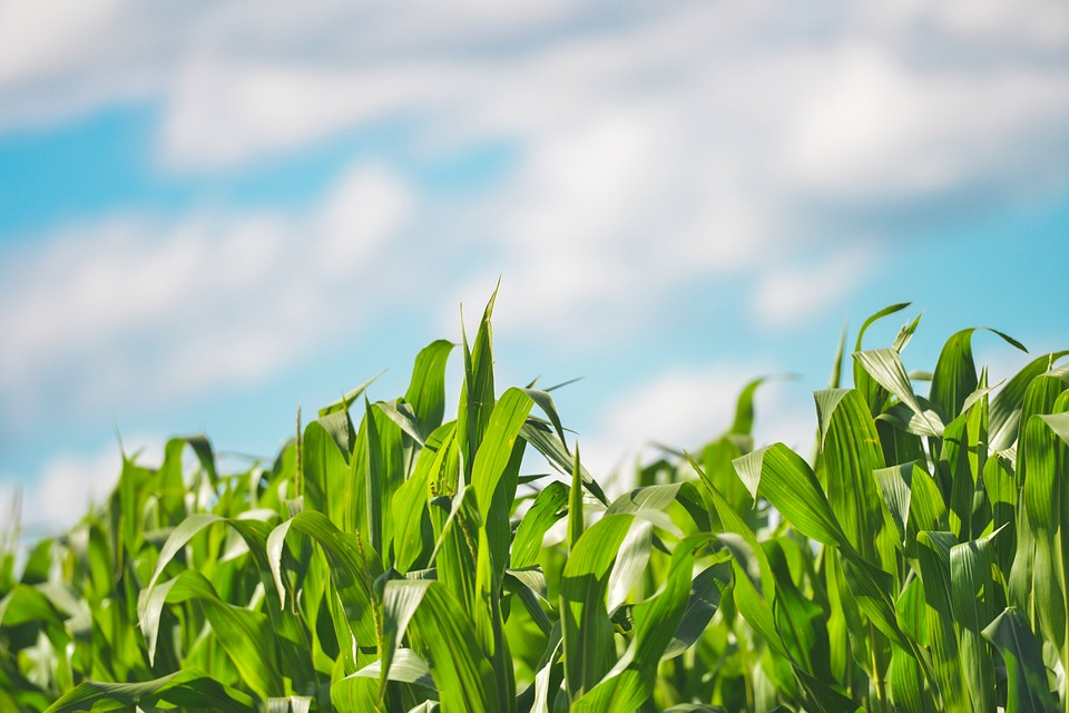 Growing optimism about SA maize harvest in 2019/20