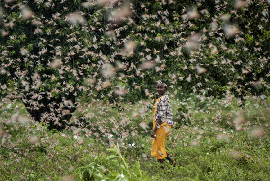 Locust upsurge threaten Kenya's already vulnerable food sector
