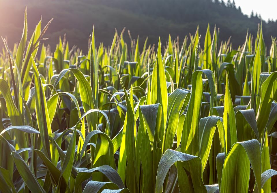 More maize