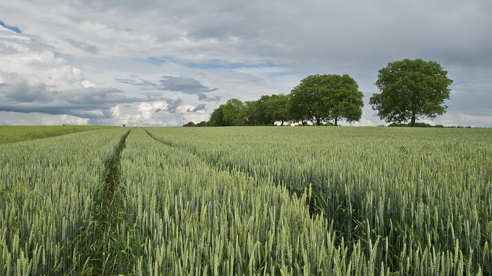 Whether we will have surplus wheat in the global market hangs on the weather