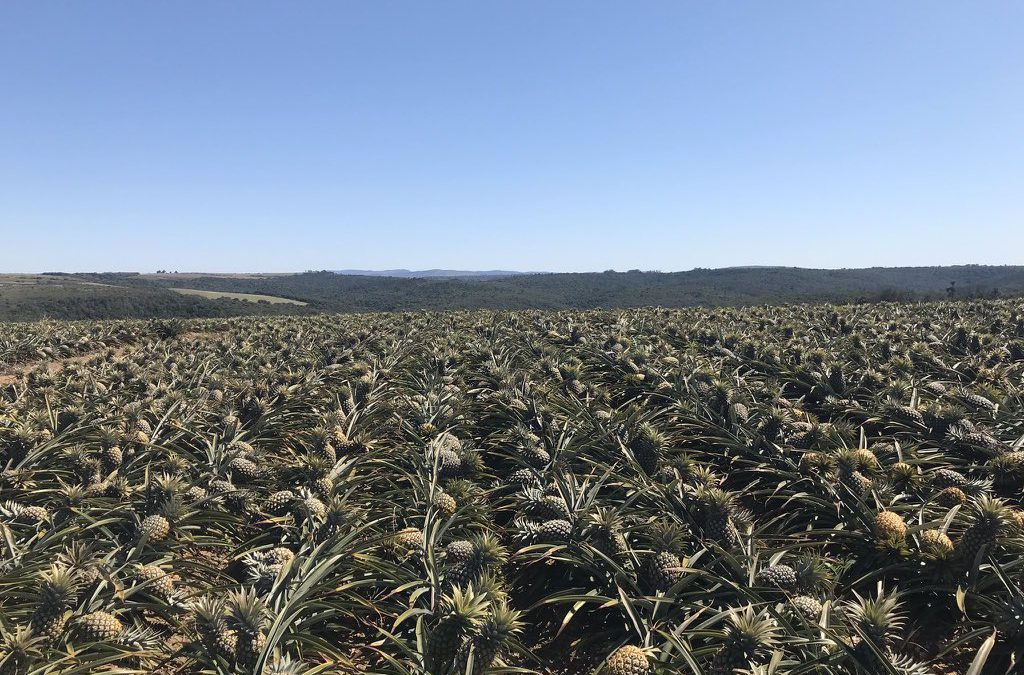 Is the uptick in South Africa's pineapples consumption a temporary trend?