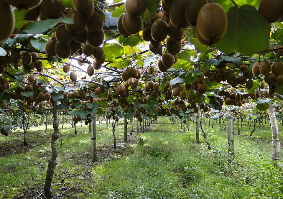 South Africa should explore niche fruits and crops in its agriculture growth plan